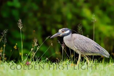 Yellow-crowned Night-Heron, Jamaica