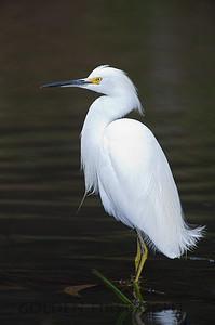 Snowy Egret, California