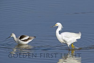 Snowy Egret with American Avocet, Bolsa Chica California