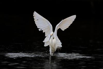 Snowy Egret, Moss Landing