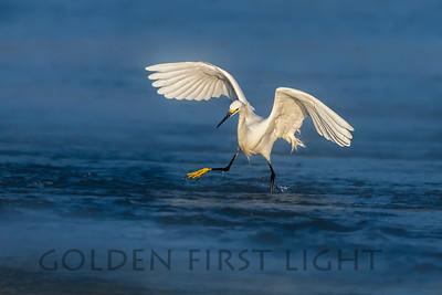Snowy Egret, Moss Landing, CA