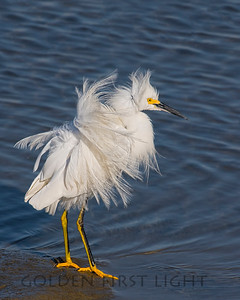 Snowy Egret, Bolsa Chica California