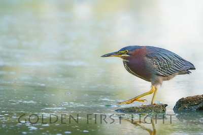 Green Heron, Oregon