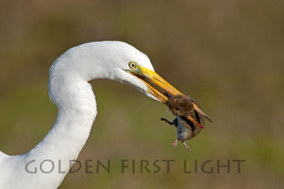 Great Egret with Vole, Ridgefield National Wildlife Refuge