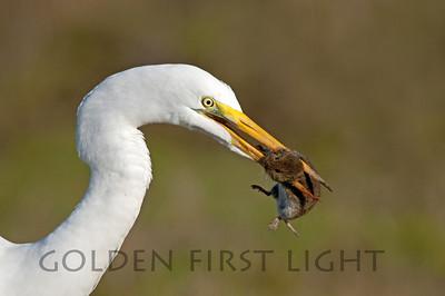 Great Egret with Vole, Ridgefield National Wildlife Refuge