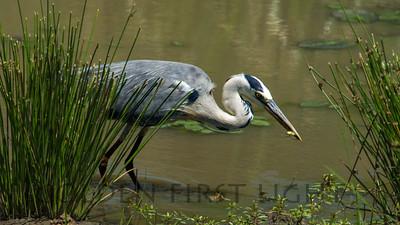 Gray Heron, Kenya