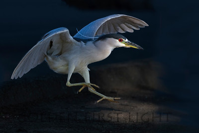 Black-crowned Night Heron, California