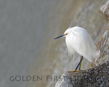 Snowy Egret, La Jolla California