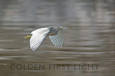 Indian Pond Heron, India