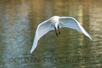 Great Egret, Moss Landing CA