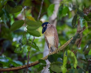 Boat-billed Heron, Pantanal Brazil