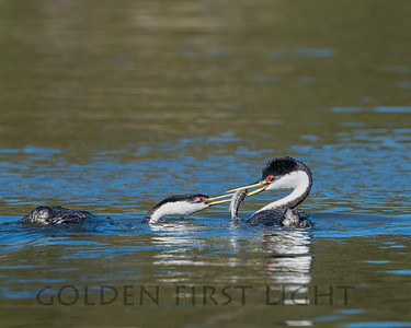 Western Grebes, Upper Klamath Lake Oregon