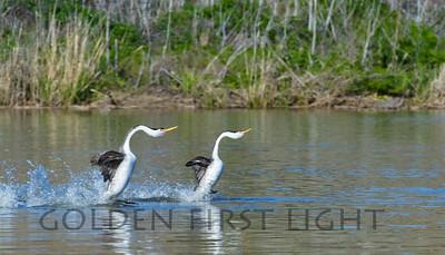 Dancing Clark's Grebes, Upper Klamath Lake