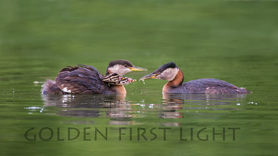Red-necked Grebe with Chicks, Anchorage Alaska
