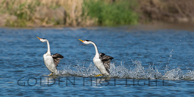Dancing Clark's Grebes, Upper Klamath Lake Oregon