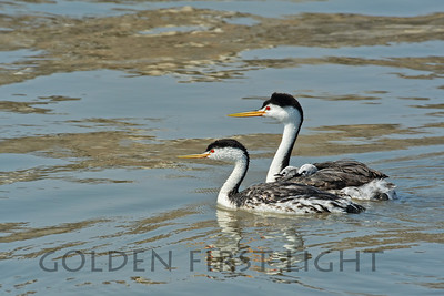 Clark's Grebes with chicks, Malheur National Wildlife Refuge Oregon