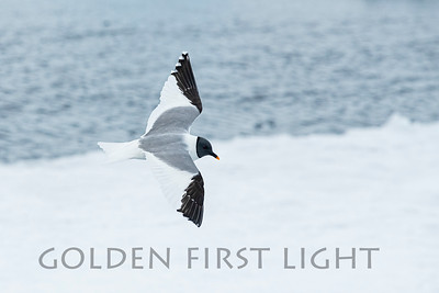 Sabine's Gull, Svalbard