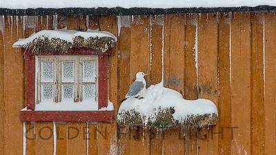 Black-legged Kittiwake, Vardo Norway