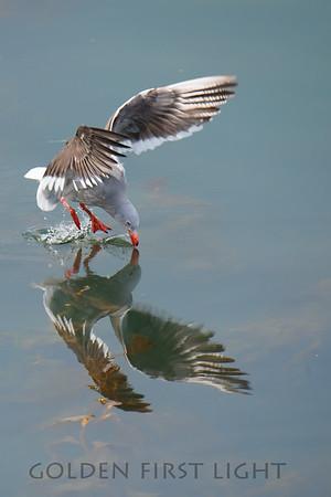 Dolphin Gull, Argentina