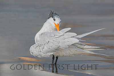 Royal Tern, Morro Bay California