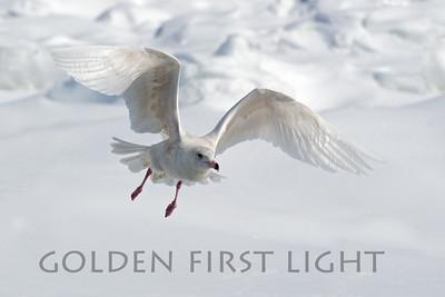 Glaucous Gull, Japan