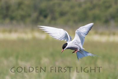 Arctic Tern, Potter Marsh Alaska