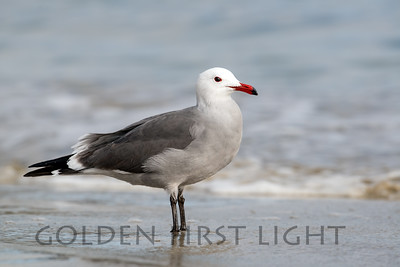 Hermann's Gull, Morro Bay California