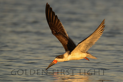 Black Skimmer, San Diego California