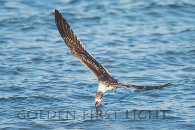 Black Skimmer, Mission Bay, San Diego California