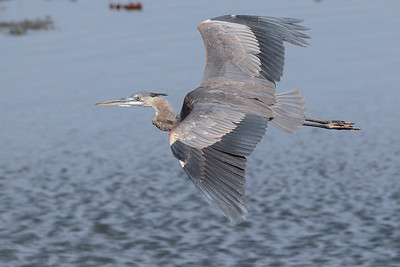 Great Blue Heron Gliding by