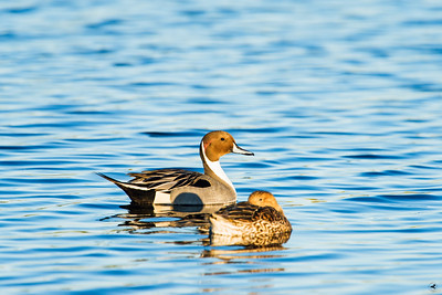 northern pintail_1147