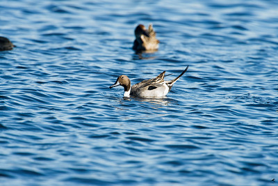 northern pintail_0928