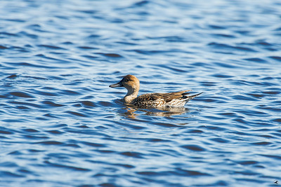 northern pintail_0908