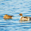 northern pintail_1133