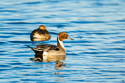 northern pintail_1145