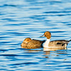 northern pintail_1135