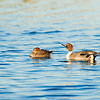 northern pintail_1116
