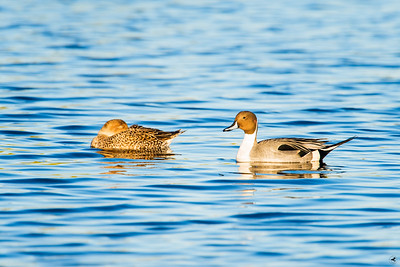 northern pintail_1132