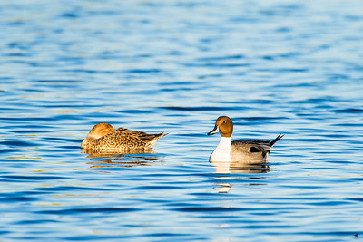 northern pintail_1131