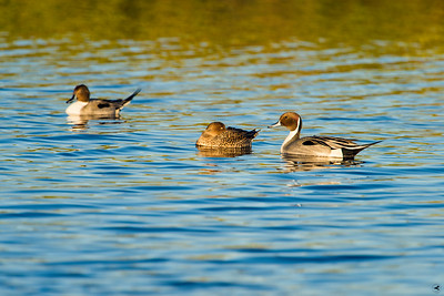 northern pintail_1108