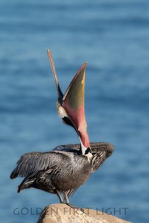 Brown Pelican, La Jolla California