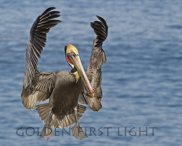 Brown Pelican, La Jolla California