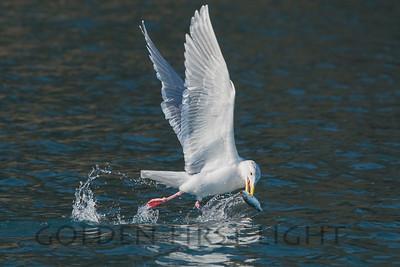 Glaucous-winged Gull, Homer Alaska