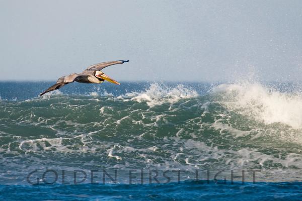 Brown Pelican, Morro Strand State Beach California
