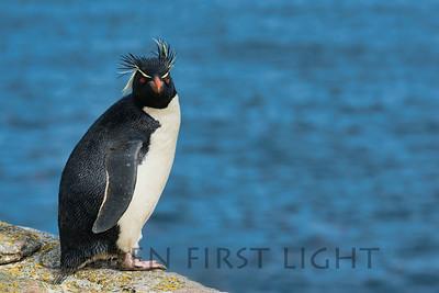 Rockhopper Penguin, New Island, Falklands