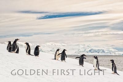 Gentoo Penguins, Orne Islands, Antarctica