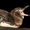 Galapagos Penguin, Galapagos