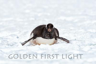 Gentoo Penguin, Aitcho Islands, Antarctica