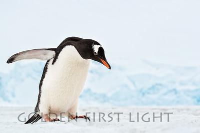 Gentoo Penguin, Port Lockroy, Antarctica
