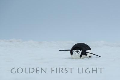 Chinstrap Penguin, Aitcho Islands, Antarctica
